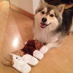 """Mi abuelito me trajo un regalito! A gift from my grandpa!  @kanumascotas #kanustars #pomsky #puppy #dog #happydog  #instapomsky #ilovemydog #instapets…"""