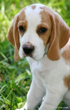 Beagles are small to medium size dogs. Males reach a height of around 14 – 16 inches, whilst females can be 13 – 15 inches high.