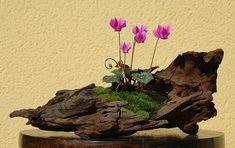Vos plus beaux Kusamono - Page 7 - Les plantes d'accompagnement - Forums Parlhjjjjjjjjjjjjjjons Bonsai
