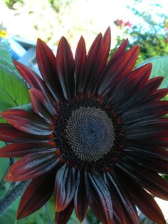 Chocolate Cherry Sunflower | from Renee's Garden seeds | Flickr