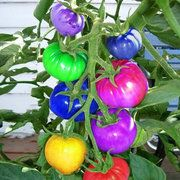 100Pcs Rainbow Tomato Seeds Colorful Bonsai Organic Vegetables and Fruits Seeds Home Garden
