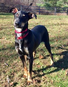 Meet Curly, an adoptable Doberman Pinscher looking for a forever home. If you're looking for a new pet to adopt or want information on how to get involved with adoptable pets, Petfinder.com is a great resource.