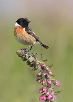 Male+Stonechat+by+Karen+Summers+on+500px