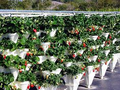 Hydroponically grown plants are really organic and easy to grow,because there is no need of soil. Only water and hydroponic nutrient needed to grow plants.