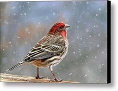 Winter Finch Christmas Art Canvas Print / Canvas Art By Christina Rollo