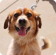 St Louis, MO - Chihuahua/Dachshund Mix. Meet Jeckle, a dog for adoption. http://www.adoptapet.com/pet/12274868-st-louis-missouri-chihuahua-mix