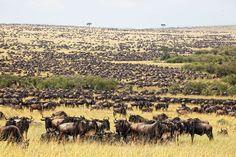 Hoogtepunten Kenia  Deze prachtige Kenia groepssafari is al vele jaren n van onze meest favoriete groepsrondreizen onder onze Kenia liefhebbers. Niet alleen vanwege de vele unieke en afwisselende parken die u gaat bezoeken tijdens deze reis ook vanwege het kleinschalige karakter van deze rondreis. Deze boeiende safari brengt u naar de voet van de machtige Kilimanjaro en het Amboseli park met haar grote kuddes olifanten die dagelijks naar de vele moerassen trekken. Naar Mount Kenia waar u een…