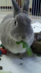 Mulligan is an adoptable Lilac Rabbit in Dallastown, PA. Rabbit Feeder, Rabbit Adoption, House Rabbit, Cute Bunny, Squirrels, Livestock, Guinea Pigs, Cute Cartoon, Animal Shelter