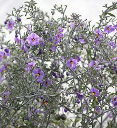 """Solanum umbelliferum """"Blue Witch""""--blooms spring-summer, 1-3' rounded mound, ok clay/rocky soil, drought tolerant.  Sun/pt sun, low water.  Poisonous."""