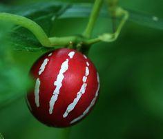 Yerli Bryony, Çizgili Salatalık (Diplocyclos palmatus'dan) Meyve. Kuzey Avustralya'da bulunan.