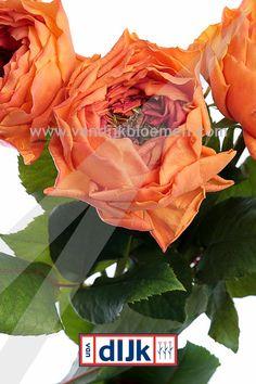 Beautiful Rosa Caraluna by Olij Roses www.vandijkbloemen.nl