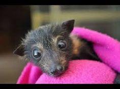 Résultats de recherche d'images pour «chauve souris geante»