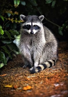 This Raccoon is a Poser...