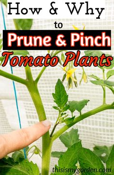 How and Why To Prune and Pinch Tomato Plants Have your BEST crop yet! pinch prune tomato care prevention disease blight garden tips advice organic thisismygarden is part of Pruning tomato plants - Tomato Plant Care, Pruning Tomato Plants, Tomato Tomato, Caring For Tomato Plants, Tomato Plant Diseases, Home Vegetable Garden, Fruit Garden, Garden Tomatoes, Small Tomato Garden Ideas