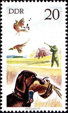 German Democratic Republic.  HUNTING IN EAST GERMANY.  RETRIEVER WITH PHEASANT, HUNTER. Scott 1860 A567.  Issued 1977 Nov 15,  20. /ldb.