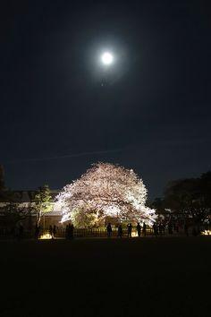 金沢城新丸広場に咲き誇る桜と月 Kanazawa, Scenery, Ceiling Lights, Landscape, Paisajes, Outdoor Ceiling Lights, Ceiling Fixtures, Ceiling Lighting, Nature
