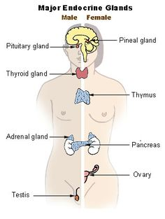 The Chakras are energy vortexes in the body, and also correspond to the endocrine glands.