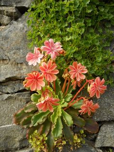Lewisia 'Ashwood Hybrids' hanging vertically in the cracks in the wall at Bodnant Garden, Wales