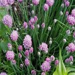 Chives-Herb uses