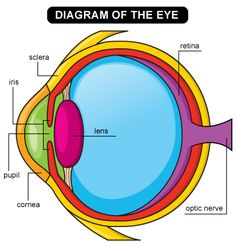 Trendy Eye Anatomy And Physiology Human Body Ideas Science Fair, Science Lessons, Science For Kids, Science Activities, Science Projects, Life Science, Science Experiments, School Projects, Diagram Of The Eye
