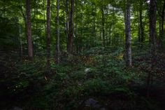 Great Smoky Mountains National Park: Synchronous Fireflies - Putt Sakdhnagool/Getty Images