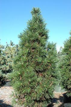 Columnar Mugo Pine (Pinus mugo 'Columnaris') at Sherwood Nurseries 10'x4' Evergreen Garden, Evergreen Shrubs, Deciduous Trees, Trees And Shrubs, Mailbox Landscaping, Landscaping Plants, Garden Plants, Town And Country Gardens, Mugo Pine