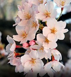 Yoshino Flowering Japanese Cherry Tree