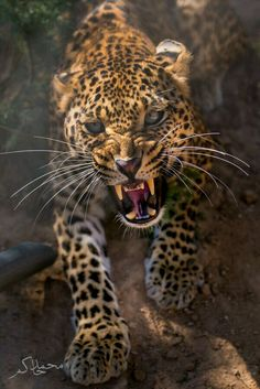 An Angry Leopard.