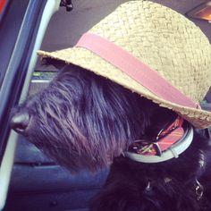 Hamish in a hat - Scottish Terrier #scottiedog #scottie