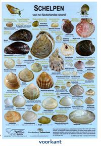 Met de zoekkaart Schelpen van het Nederlandse strand zijn bijna alle schelpen die u aan het Nederlandse strand kunt vinden op naam te brengen. Alle algemene en veel zeldzame soorten staan overzichtelijk bij elkaar. Fossiele schelpen en zeenaaktslakken staan niet…