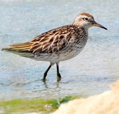 Sharp-tailed Sandpiper (Calidris acuminata) is a small wader. It breeds in the boggy tundra of northeast Asia and is strongly migratory, wintering in south east Asia and Australasia.