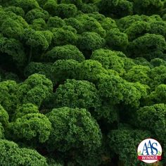 Kale Prizm, 2016 AAS Winner - When grown, Prizm produces attractive short, tight ruffle-edged leaves that are content to be grown in containers as well as in-ground beds.