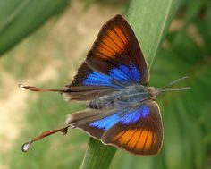 Common Fig-tree Blue: Myrina silenus - With dazzling metallic-blue smudges - Port Harcourt, Nigeria Types Of Butterflies, Flying Flowers, Butterflies Flying, Beautiful Butterflies, Butterfly Kisses, Butterfly Flowers, Butterfly Wings, Butterfly Pictures, Blue Butterfly