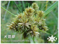 白石湖農驛棧生活與生態: 大莞草 Scirpus ternatanus Reinw. ex Miq.
