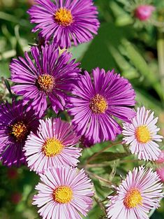 pink-new-england-aster-blooms-71fcf9c2 Clay Soil Plants, Planting In Clay, Hosta Plants, Best Perennials, Flowers Perennials, Perennial Geranium, Perennial Grasses, Prairie Planting, Border Plants