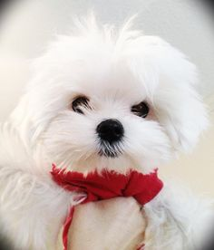 Obi the Maltese puppy