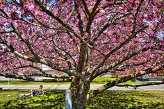 A student studies under a cherry blossom tree. Photo by John Griffin/Office of Communications
