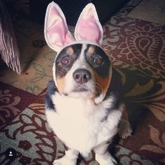 Where. Is. My. Easter basket?!?!  Photo credit: @vipares #dogs #dog #doghat #doghats #dogslife #dogsofinstagram #dogstagram #dogsofig #dogs_of_instagram #corgi #corgisofinstagram #corgination #corgilove #corgistagram #corgigram #corgioftheday #easter #easterdog #easter2016 #happyeaster #happyeasterdog #happyeaster2016 #wherearethetreats #lovedogs by dogsandhats #lacyandpaws