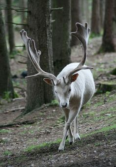 Majestic and Rare White Deer