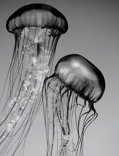 Jellyfish Art Black and White Nature Photography by PenumbraImages, $25.00