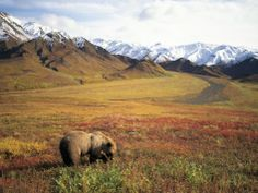 Grizzly Bear Foraging on Colorful Tundra Photographic Print by Kennan Ward