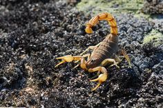 scorpion pic 1080p high quality by Weston WilKinson (2017-03-01)