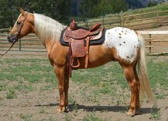 Appaloosa pattern, suppose this is spotted blanket. The base color is either flaxen chestnut or somewhat dark palomino. Extremely beautiful color and horse, though.