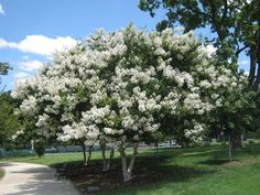 Natchez Crape Myrtle - white flowers // 25-30' tall x 15-25' wide | Texas Plantings | Pinterest | Crepes, Lagerstroemia and White Flowers