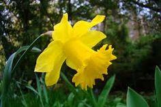 Narcis žlutý Latin. n. Narcissus