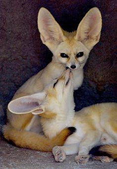 Fennec fox animals kissing, baby animals, animals and pets, funny a Nature Animals, Animals And Pets, Baby Animals, Funny Animals, Cute Animals, Strange Animals, Wild Animals, Beautiful Creatures, Animals Beautiful