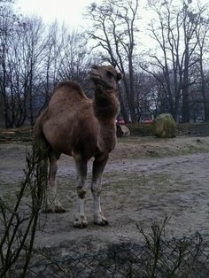 Wielbłąd z ZOO:-)