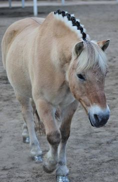 Fjord Horse on Pinterest | fjord horse, foals and draft horses