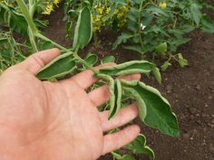 Нехватка калия на многих культурах выражается в виде усыхания краев у листвы. На помидорах края листьев «завиваются»