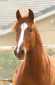 Quirica: 2010 Chestnut Andalusian Mare for sale $10,000 IALHA Pending